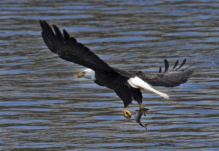 After grabbing a fish from the Susquehanna River a bald eagle soars away to enjoy the meal. (Kenneth K. Lam/The Baltimore Sun)