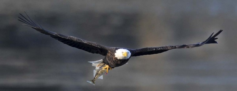 While gliding over the Susquehanna River a bald eagle looks for a safe spot to enjoy its meal. (Kenneth K. Lam/The Baltimore Sun)