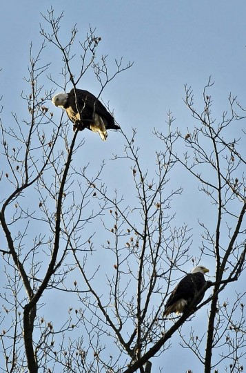 Two bald eagles perched on tall trees near the Susquehanna River look for their next meal. Large numbers of Bald Eagles gather downstream of Conowingo Dam where fish, a primary food source, is abundant.