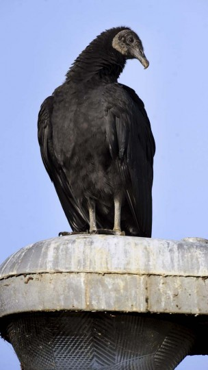 A black vulture waits for an easy meal at Conowingo Dam. A large number of bird species can be seen near the dam. (Kenneth K. Lam/The Baltimore Sun)