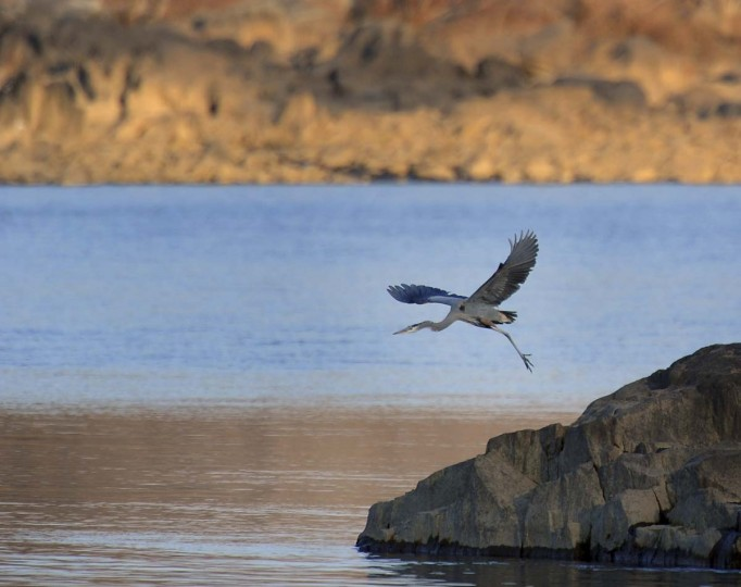 A great blue heron takes flight downstream from the Conowingo Dam on the Susquehanna River. (Kenneth K. Lam/The Baltimore Sun)