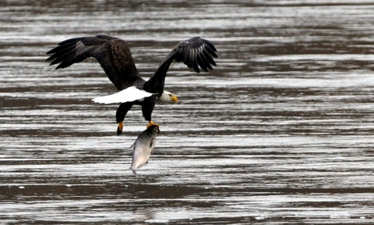 A bald eagle catches a fish at the Conowingo Hydroelectric Dam. Kim Hairston/Baltimore Sun