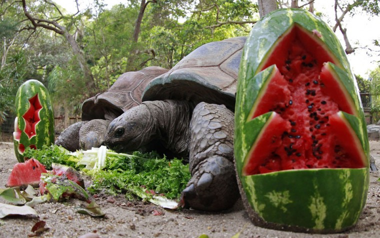 An Aldabra giant tortoise feasts on food treats at the Taronga Zoo in Sydney. Animals at the Taronga Zoo were given food treats as part of their Christmas celebrations. (Daniel Munoz/Reuters)