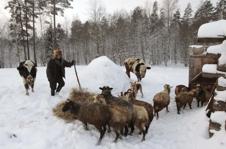 Yuri Baikov, 64, feeds livestock on his farm in a forest near the village of Yukhovichi, some 187 miles, northeast of Minsk, December 15, 2012. Yuri and his wife Tamara settled in the forest about 20 years ago after the collapse of the Soviet Union to live in solitary and to start their own business in agriculture and cattle breeding. They started out in a temporary hut in hopes of building a house and a business in the remote Belarussian site, just hundreds of meters from the border with Russia. But 20 years later, they continue to live in the hut without basic amenities like electricity as their business has not thrived under unimproved economic conditions. (Vasily Fedosenko/Reuters)