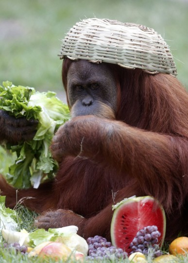 An orangutan eats salad leaves after receiving a Christmas basket at Rio de Janeiro's zoo. (Ricardo Moraes/Reuters)