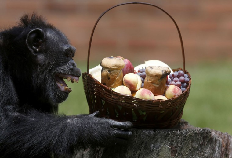 A chimpanzee reacts after receiving a Christmas basket at Rio de Janeiro's zoo. (Ricardo Moraes/Reuters)