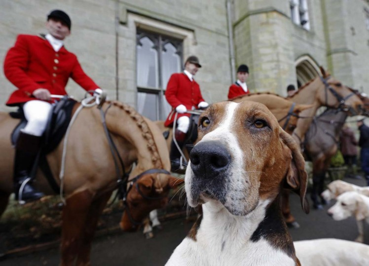 A foxhound is seen near members of the Old Surrey Burstow and West Kent Hunt at Chiddingstone Castle during the annual Boxing Day hunt in Chiddingstone, south east England December 26, 2012. (Luke MacGregor/Reuters)
