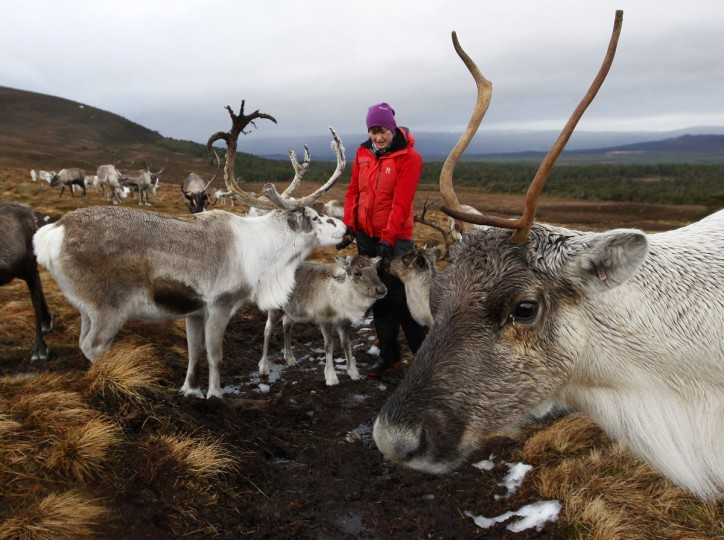 Reindeer gather around herder Anna Jemmett, from the Glenmore Reindeer Centre, to eat lichen from her hands in the Cairngorm Mountains near Aviemore, Scotland. The 150 strong Cairngorm Reindeer Herd is Britain's only herd of reindeer. (David Moir/Reuters)