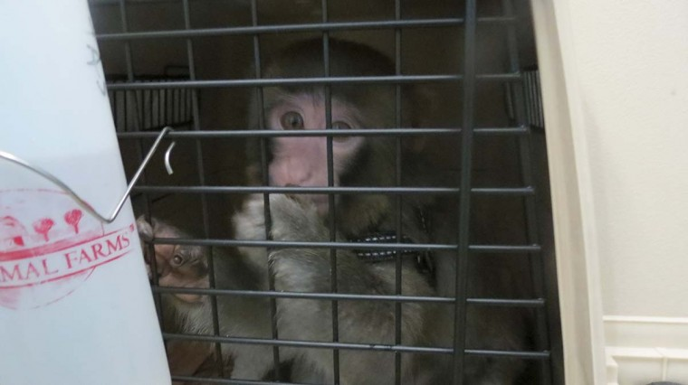 Darwin, the monkey is pictured in this handout photo taken by Toronto Animal Services, December 10, 2012. The stylishly dressed five-month old monkey that caused a frenzy as it wandered around the parking lot of a Toronto-area Ikea store will be transferred to a sanctuary, officials said on Monday. Police were called to the furniture store on Sunday afternoon in Canada's most populous city after the monkey broke loose from its cage in a coat and began running around a parking area. (Toronto Animal Services Handout via Reuters)