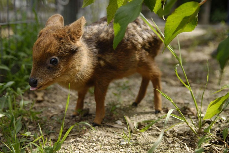 A one-month-old baby Pudu deer grazes in an artificial environment at an University in Concepcion city, south of Santiago. The Pudu, the world's smallest deer, was found orphaned in a forest close Concepcion city and inhabits exclusively in southern Chile and part of Argentina. The species is currently in danger of extinction. Picture taken November 12, 2012. (Jose Luis Saavedra/Reuters)