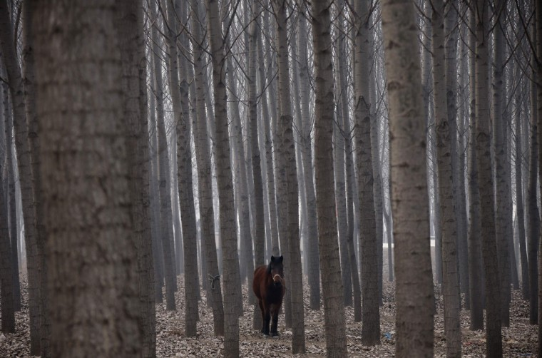 A horse stands in woods as it is tied to a tree in Xianghe, Hebei province. (Petar Kujundzic/Reuters)