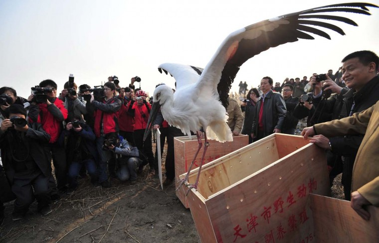 An oriental white stork spreads its wings before it is released into the wild n Tianjin, November 21, 2012. Rescuers saved the bird along with others after it was poisoned. The endangered storks grabbed headlines in Chinese media recently when 20 of the birds died of poisoning in northern China. According to Xinhua News Agency, poachers poisoned the wild birds within a wetland nature reserve in north China's Tianjin Municipality, where 20 were found dead and 13 others sickened, sparking a public outcry for intensified protection of wild animals and harsher punishments for those behind the deaths of the storks. (China Daily/Reuters)