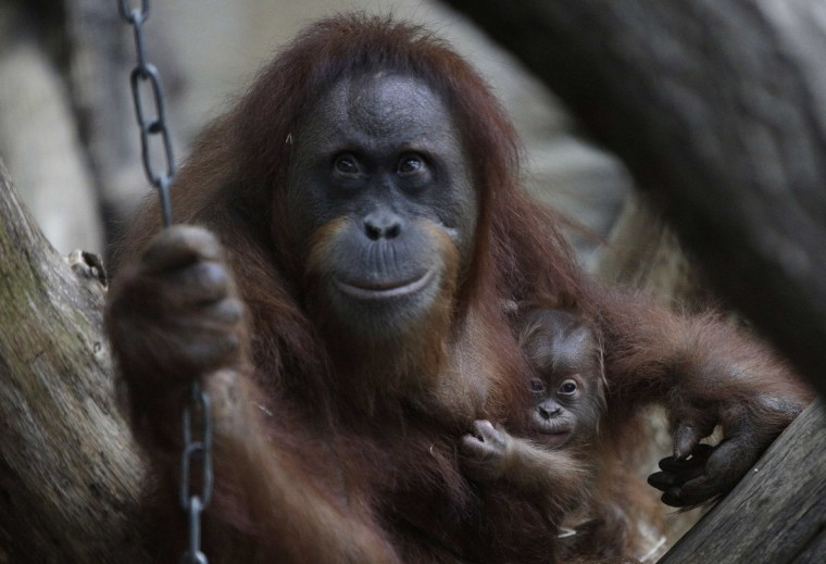 Orangutan Rosa carries her cub Sayang in their enclosure at the zoo in Frankfurt. The cub of orangutangs Rosa and Charly were born late night on November, 29 in the zoo. (Lisi Niesner/Reuters photo)
