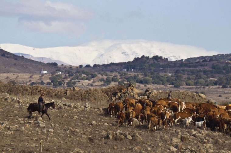 Israeli farmers ride horses as they herd cattle close to the ceasefire line between Israel and Syria on the Israeli-occupied Golan Heights November 13, 2012. (Nir Elias/Reuters)