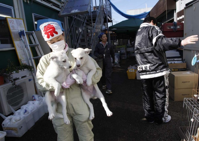 Members of United Kennel Club Japan care for pets rescued from inside the exclusion zone around the crippled Fukushima Daiichi nuclear power plant, at the group's pet shelter in Samukawa town, Kanagawa prefecture. Dogs and cats that were abandoned in the Fukushima exclusion zone after last year's nuclear crisis have had to survive high radiation and lack of food, as they now face freezing winter weather. Picture taken January 25, 2012. (Issei Kato/Reuters)