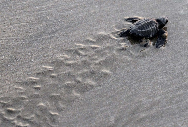 An olive ridley turtle hatchling crawls to the ocean after being released by tourists in Mazatlan November 14, 2012. The Mazatlan Aquarium released 1,100 turtle hatchlings into the Pacific, local media reported. For more than 20 years, the Aquarium has protected 4,400 nests and liberated more than 270,000 hatchlings in an effort to protect and recover the endangered species. (Stringer/Reuters)
