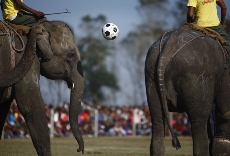 Elephants play an exhibition soccer match during the final day of the Elephant Race event at Sauraha in Chitwan, about 170 km (106 miles) south of Kathmandu. Elephants and mahouts from Chitwan participated in the Elephant Race event which involved elephants playing an exhibition soccer match and taking part in various other sporting activities. The event began on Wednesday and ends on Friday. (Navesh Chitrakar/Reuters)