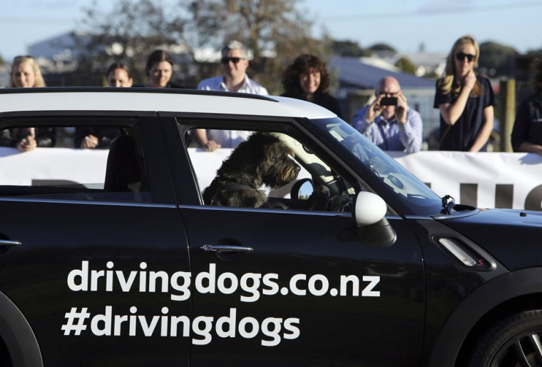 A New Zealand SPCA dog Monty, an 18-month-old Giant Schnauzer, drives a modified Mini Countryman on a race track in Auckland in this December 10, 2012 handout picture. (SPCA/Michael Bradley/Handout/Reuters)