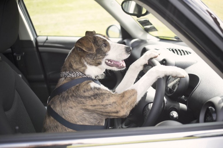 A New Zealand SPCA dog Ginny, a 12-month-old Beardie Whippet Cross, drives a modified Mini Countryman on a race track in Auckland in this December 10, 2012 handout picture. (SPCA/Michael Bradley/Handout/Reuters)