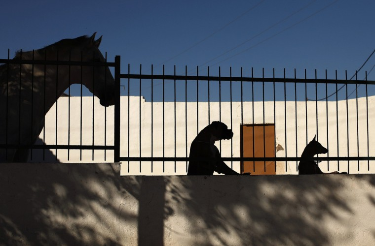 A horse, a boxer dog and a podenco dog (Andalusian hound) (L-R) are silhouetted in Marinaleda, southern Spain, August 15, 2012. (Jon Nazca/Reuters)