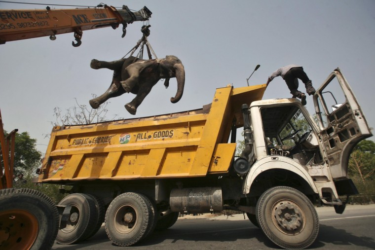 A crane removes the carcass of a 40-year-old elephant called Chanchal after it was hit by a truck and killed at the Noida expressway on the outskirts of New Delhi June 29, 2012. Chanchal was a pet kept by a resident. (Parivartan Sharma/Reuters)