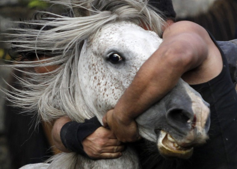 """A reveler tries to hold on to a wild horse during the """"Rapa Das Bestas"""" traditional event in the Spanish northwestern village of Sabucedo July 7, 2012. On the first weekend of the month of July, hundreds of wild horses are rounded up, trimmed and groomed in different villages in the Spanish northwestern region of Galicia. (Miguel Vidal/Reuters)"""