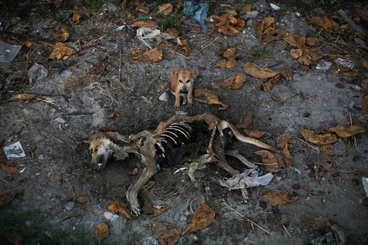 A puppy stands by remains of a dog local residents said was its mother, days after it was killed in an area burnt in violence at East Pikesake ward in Kyaukphyu November 6, 2012. (Reuters)