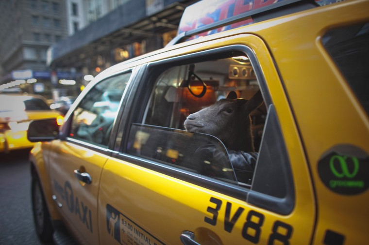 """Cyrus Fakroddin and his pet goat Cocoa take a taxi ride in New York, April 7, 2012. Cocoa is a 3-year-old Alpine Pygmy mixed goat who lives with its owner Fakroddin in Summit, New Jersey. They frequently take trips into Manhattan to enjoy the city. Fakroddin raised Cocoa since she was 2 months old and treats her like a human. """"She doesn't like goats, she doesn't like farms, she likes the people and the city."""" Fakroddin said. (Allison Joyce/Reuters)"""