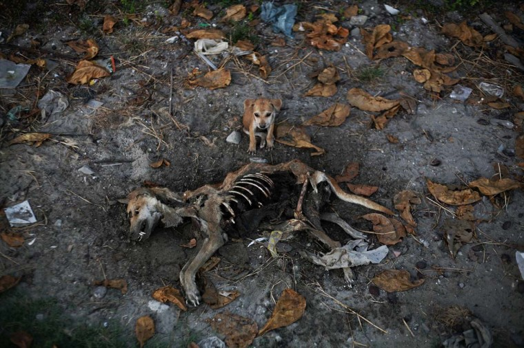 A puppy stands by remains of a dog local residents said was its mother, days after it was killed in an area burnt in violence at East Pikesake ward in Kyaukphyu. Picture taken November 6, 2012. (Minzayar/Reuters)