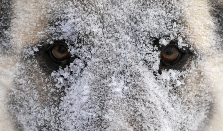A dog, covered with hoarfrost and snow, looks on during a snowfall outside Russia's Siberian city of Krasnoyarsk. (Ilya Naymushin/Reuters)