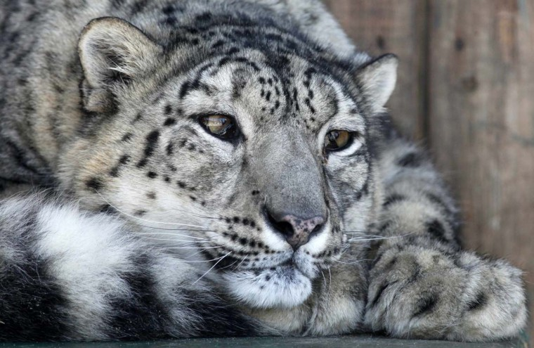 Bianca, a female snow leopard, an endangered species, rests in an open air cage at the Royev Ruchey zoo in Russia's Siberian city of Krasnoyarsk, March 15, 2012. Bianca returned to Krasnoyarsk after a three-year-long stay at a zoo in Kazan, the capital of Tatarstan, to wait for a male snow leopard, which is wanted by employees to help propagate the species, according to zoo representatives. (Ilya Naymushin/Reuters)