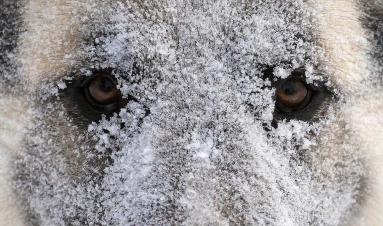 A dog, covered with frost and snow, looks on during a snowfall outside Russia's Siberian city of Krasnoyarsk December 4, 2012. (Ilya Naymushin/Reuters)