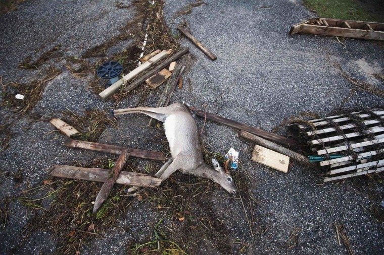 A dead deer is pictured with driftwood and debris left by a combination of storm surge from Hurricane Sandy and high tide in Southampton, New York October 30, 2012. Millions of people across the eastern United States awoke on Tuesday to scenes of destruction wrought by monster storm Sandy, which knocked out power to huge swathes of the nation's most densely populated region, swamped New York's subway system and submerged streets in Manhattan's financial district. (Lucas Jackson/Reuters)