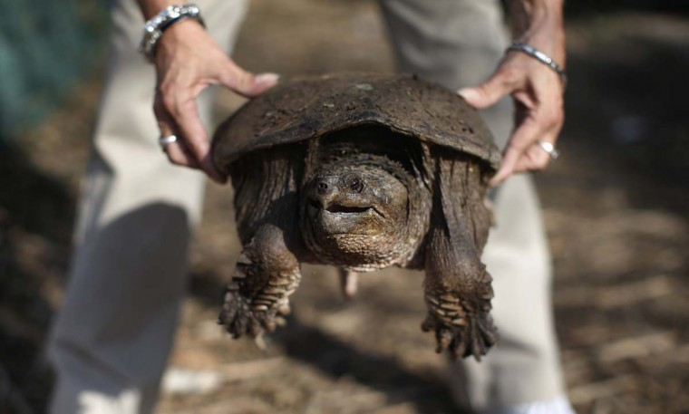 A woman holds a large snapping turtle washed into her yard by Hurricane Sandy, while cleaning up debris on Staten Island in New York City, November 12, 2012. (Mike Segar/Reuters)