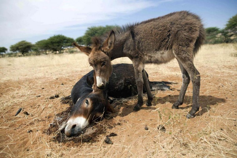 A baby donkey smells the body of its mother, which was killed during an attack by an armed force in Sigili village in Sudan on November 2, 2012. The local community reported that ten people were killed, one child injured and a young man abducted during the incident which saw 15 houses burnt, all properties looted and camels, donkeys and cows slaughtered. More than 1,000 people from some 140 families of the Zagawa tribe, who resided in the village, have fled to El Fasher and the ZamZam camp for internally displaced persons, 18 miles away. (Albert Gonzalez Farran/UNAMID/Reuters)