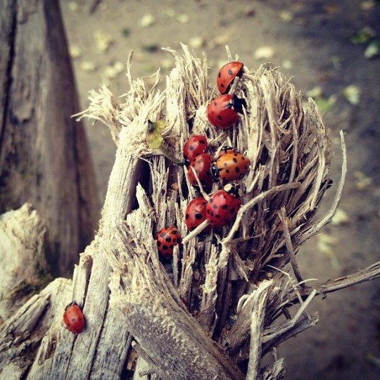 Nine, lady bugs crawl atop splintered wood, one appearing to straggle behind the others.