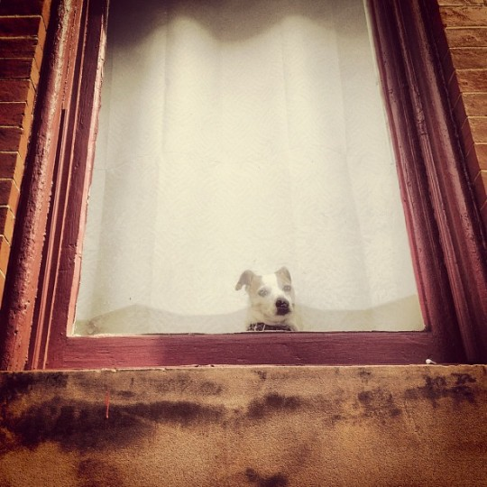 Small brown and white dog peeks in front of a white shade to peer out a maroon-trimmed window of a brick house.