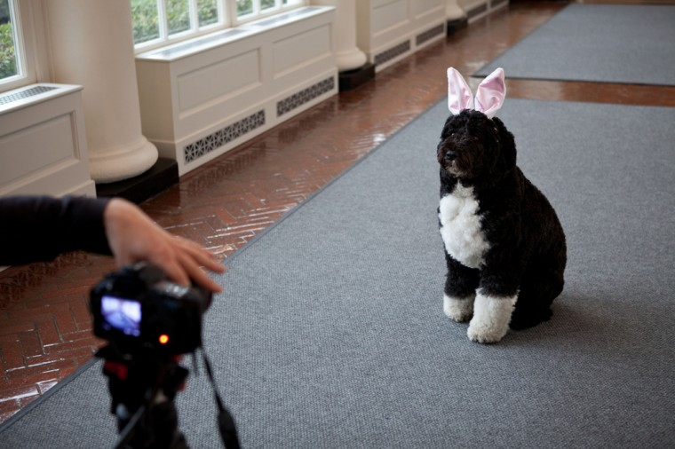 """Feb. 29, 2012: """"Sonya Hebert made this amusing photograph of Bo, the Obama family dog, as he was being videotaped for the Easter Egg Roll, in the East Colonnade of the White House."""" (Official White House Photo by Sonya N. Hebert)"""