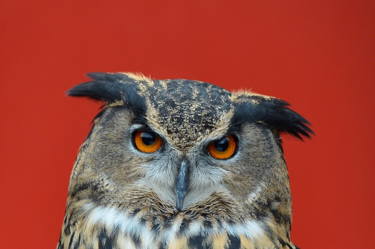 A European Eagle owl is seen during the annual stocktake at ZSL London Zoo in central London. ZSL London Zoo embarked on January 3 on their annual complete head-count of every animal at the zoo, which houses over 17,000 animals. (Ben Stansall/Getty Images)