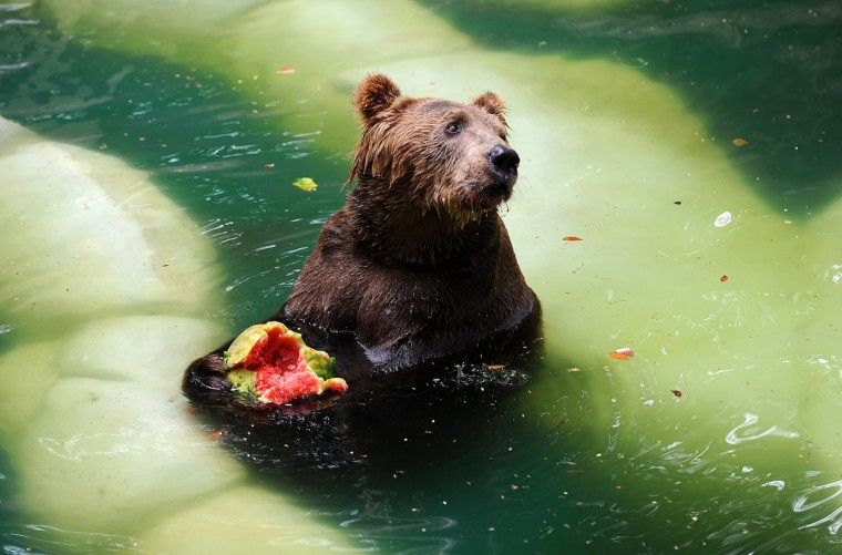 A Brown bear (Ursus arctos) eats watermelon whilst cooling itself down in a pool at the zoo in Rio de Janeiro. (Vanderlei Almeida/Getty Images)