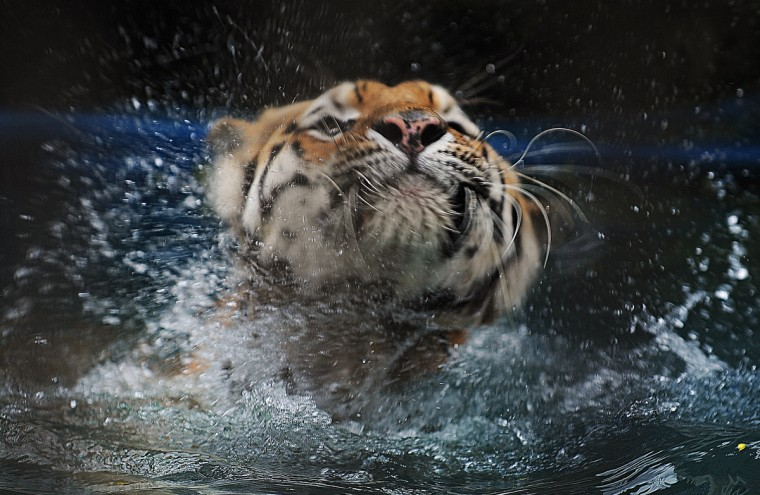 A Siberian tiger (Panthera tigris altaica) cools itself down in a pool at the zoo in Rio de Janeiro. Temperatures hit 40C in the city. (Vanderlei Almeida/Getty Images)