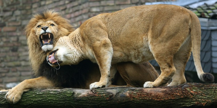 Two lions are pictured at the zoo in Duisburg, western Germany. (Roland Weihrauch/Getty Images)
