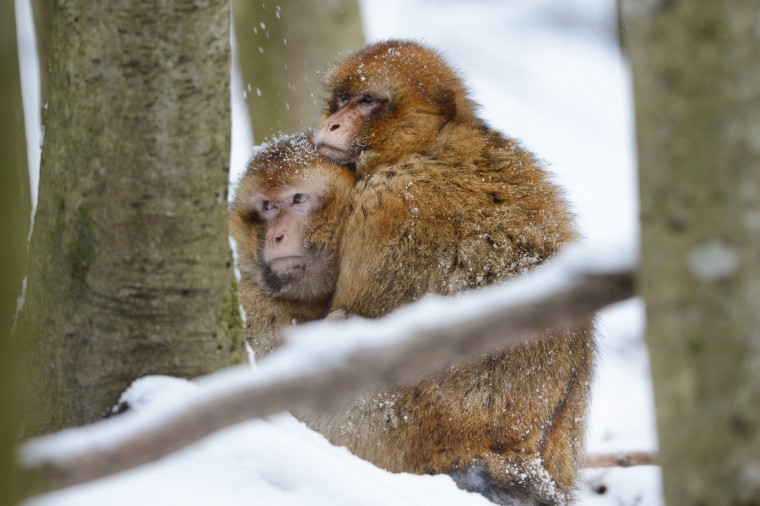 Barbary macaques cuddle in fresh snow at the zoo near Salem, Germany. (Felix Kaestle/Getty Images)