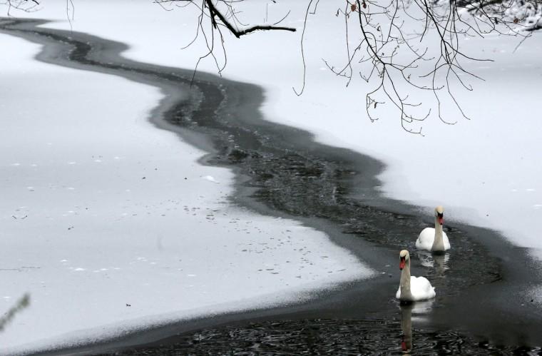 Swans swim in Oberhausen, western Germany. (Roland Weihrauch/Getty Images)