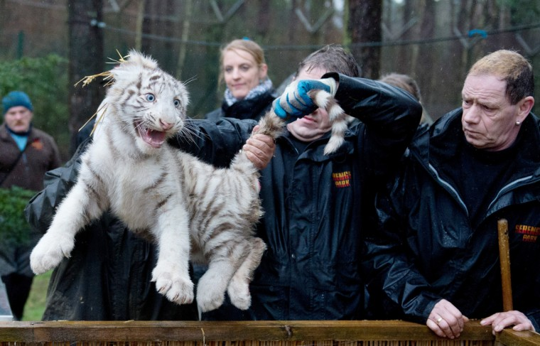 Keepers hold a white tiger cub during an examination at the Serengeti wildlife park in Hodenhagen, central Germany. The tiger cub was born at the park in October 2012. (Julian Stratenschulte/Getty Images)