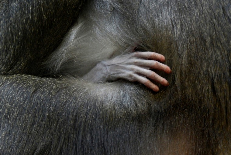 A hand of the one week young Drill baby is held by its mother Kaduna in the primate enclosure in the zoo of Munich Hellabrunn, southern Germany. The Drill's are in danger of extinction in Africa. (Christof Stache/Getty Images)