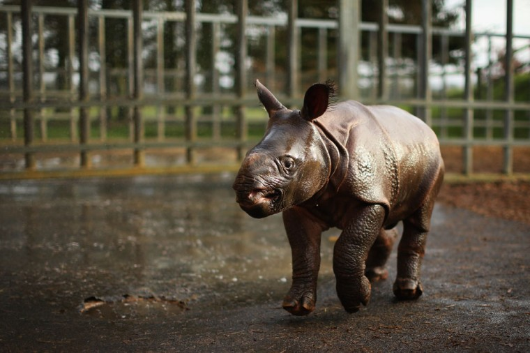 Jamil, the four week old Greater One Horned Rhinoceros runs in her enclosure at Whipsnade Zoo in Dunstable, England. The 3ft high baby rhino weighing 59kg at birth made her first public appearance today as keepers at the zoo undertook their annual stocktake. (Dan Kitwood/Getty Images)