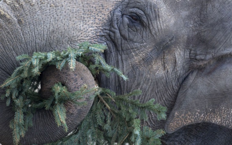 An elephant enjoys a Christmas tree at the Zoologischer Garten zoo in Berlin. Traditionally, elephants at the Berlin zoo are given for food the trees that were left over from Christmas tree sales during the first days of January. (Barbara Sax/AFP/Getty Images)