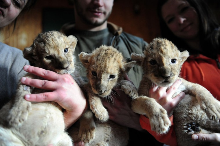 New born lion babies are held by zoo-owner Henrietta Barcai (L), local zoo keepers Gabor Roszik (C) and Blanka Moczar (R) in the 'Szorako-Zoo' of Gyongyos, Hungary. The lion babies were born three weeks ago in December and will be shown to the public after their first vaccination, in middle of January. (Attila Kisbenedek/AFP/Getty Images)
