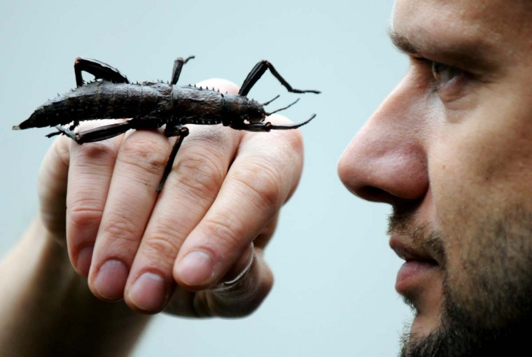 A Giant Grasshopper (Trachyaretaon carmelae) and biologist Volker Gruen face off as he is taking stock at the zoo in Duisburg, Germany, on January 7, 2013. (Horst Ossinger/AFP/Getty Images)